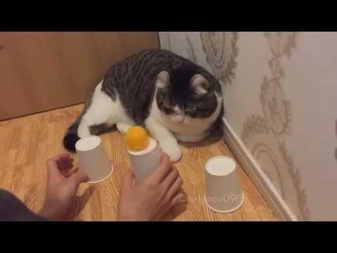 VIDEO: Geniaalne kass näitab palliotsimisoskust ja tõestab sellega, et ta on kõigist targem