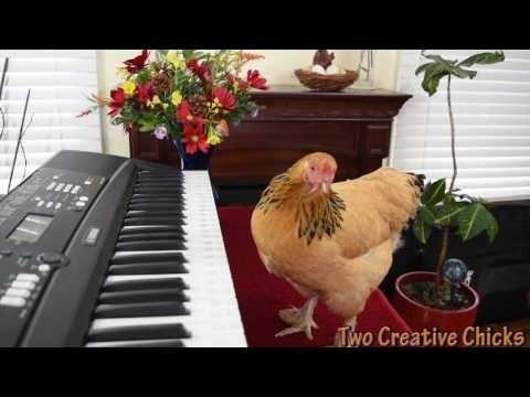 VIDEO: Musikaalne kana mängib klaverit