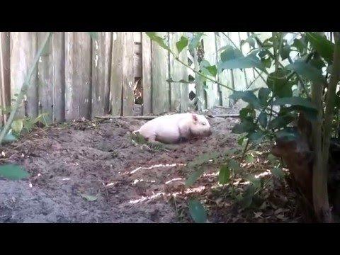 Naudi nii nagu siga