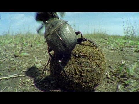 VIDEO | Maailma tugevaim putukas