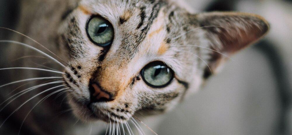 PÕNEV: Kas teadsid? Kaheksa üllatavat fakti kasside kohta