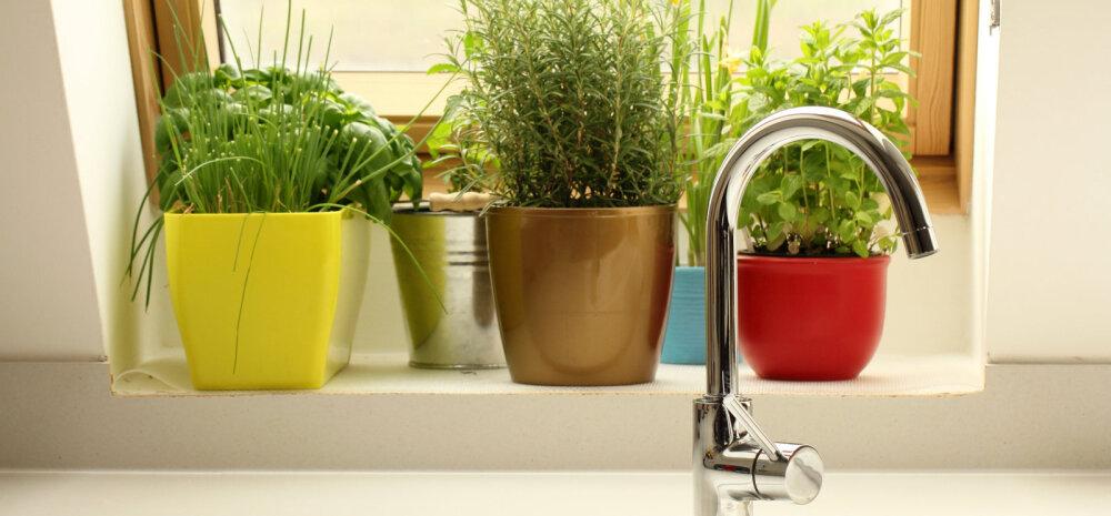 Maitsetaimed, mida võib edukalt ka talvel aknalaual kasvatada