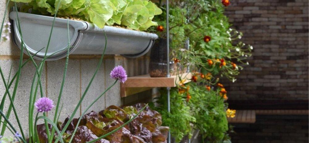 Päikesele avatud seinad on soojemad ja võimaldavad nutika lähenemisega päris palju kasulikku aiapinda saada nii suvelillede kui ka köögivilja ja ürtide kasvatamiseks.