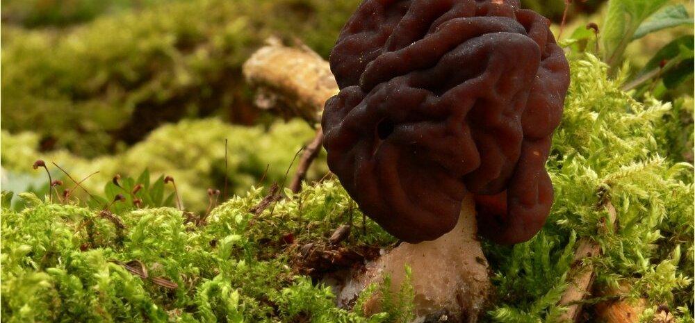 Inimeste kokkupuuted mürgiste seentega on saanud terviseameti igapäevatööks
