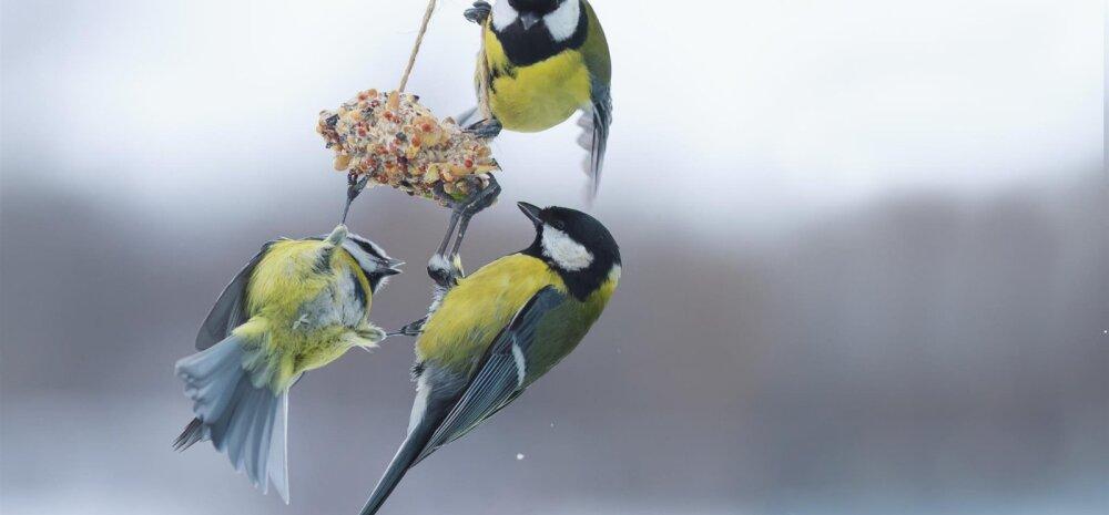 AED TALVEL | Kümme peamist viga, mida lindude söötmisel tehakse