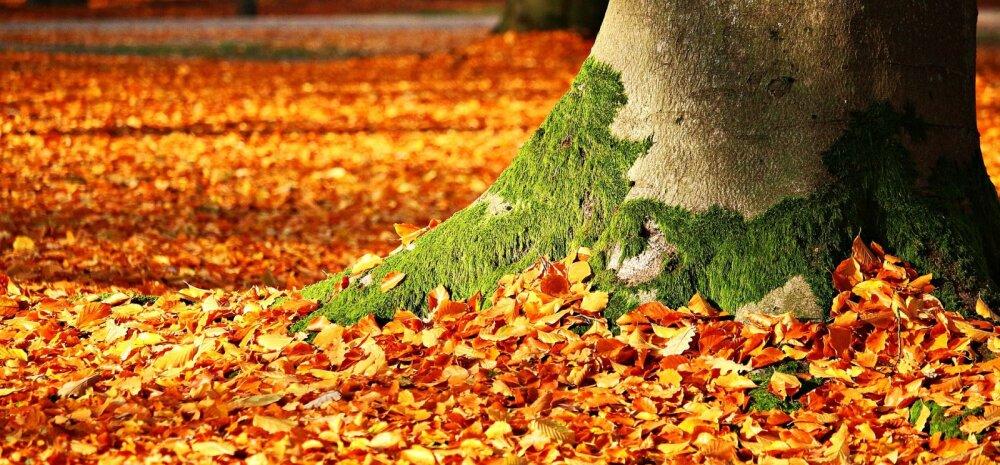 СОВЕТЫ │ Что делать с опавшими листьями на участке