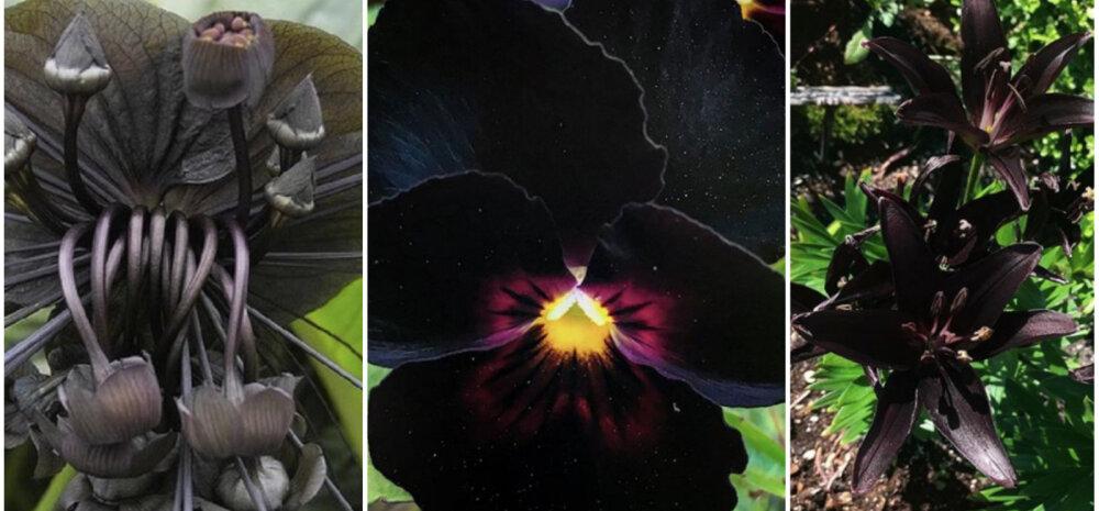 Больше драмы: 9 черных цветов, которые сделают ваш сад необычным