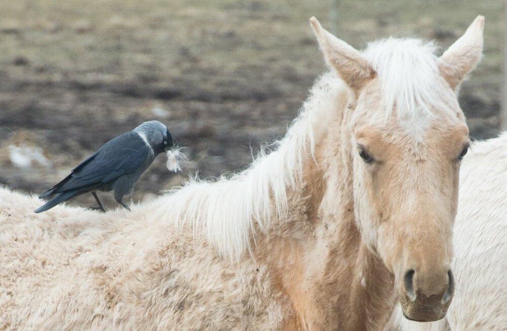 Hobuse hooletusse jätmise tõttu tuleb omanikul teha üldkasulikku tööd