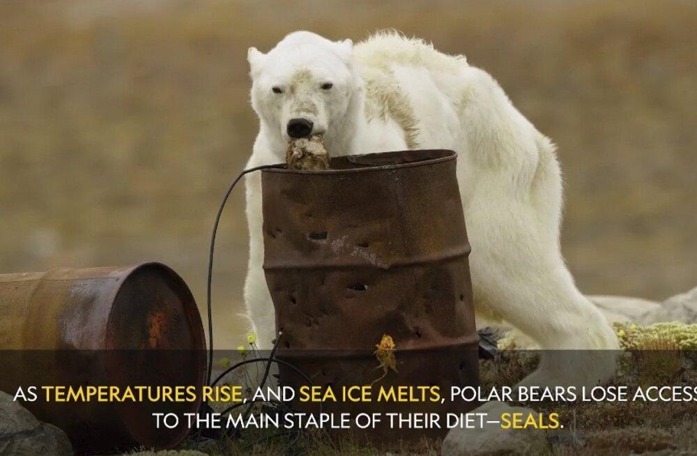 Ekspert: video nälga surevast jääkarust on eksitav