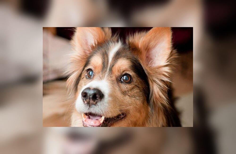 Tule appi: kadunud on 14-aastane pime ja kurt koer, leidjale suur vaevatasu