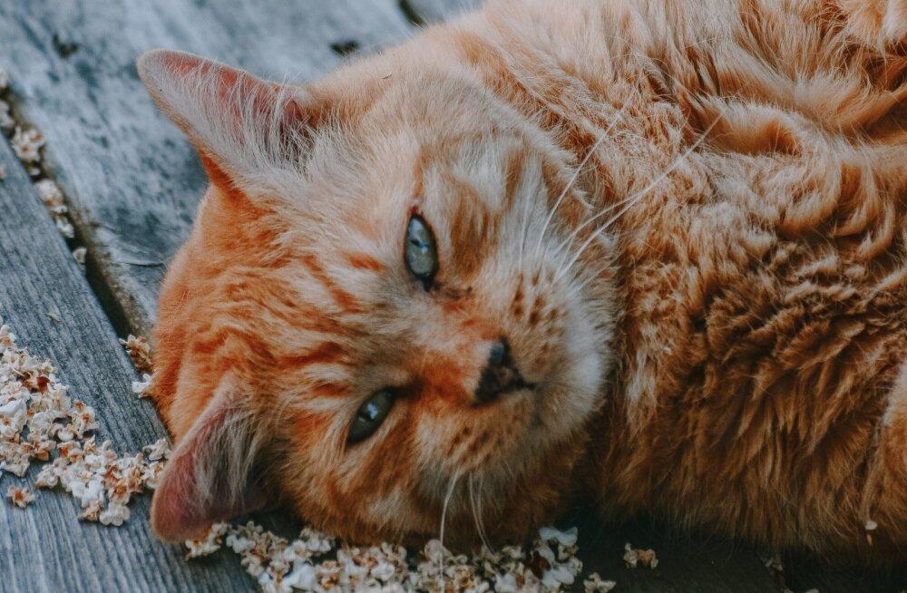 Maaülikooli loomakliinik hakkas pakkuma rasvunud kassidele ja koertele toitumisnõustamist