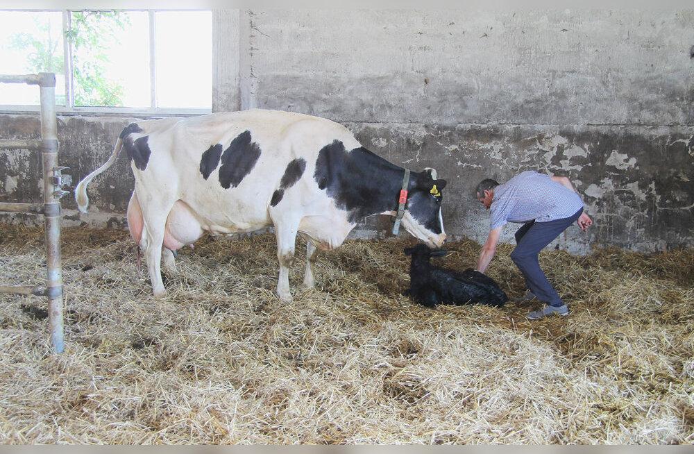Tubli piimaandja Kanni tõi avatud talude päeval ilmale pullvasika
