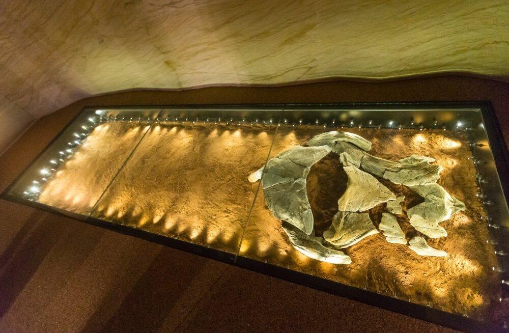 Kui Tartu Ülikooli loodusmuuseum oma ekspositsiooni uuendas, kujunes Aruküla koopa jäljendist ühes Asmusse kaevatud leidudega ning Elga Mark-Kuriku koostatud kalamudelitega üks selle pärle.