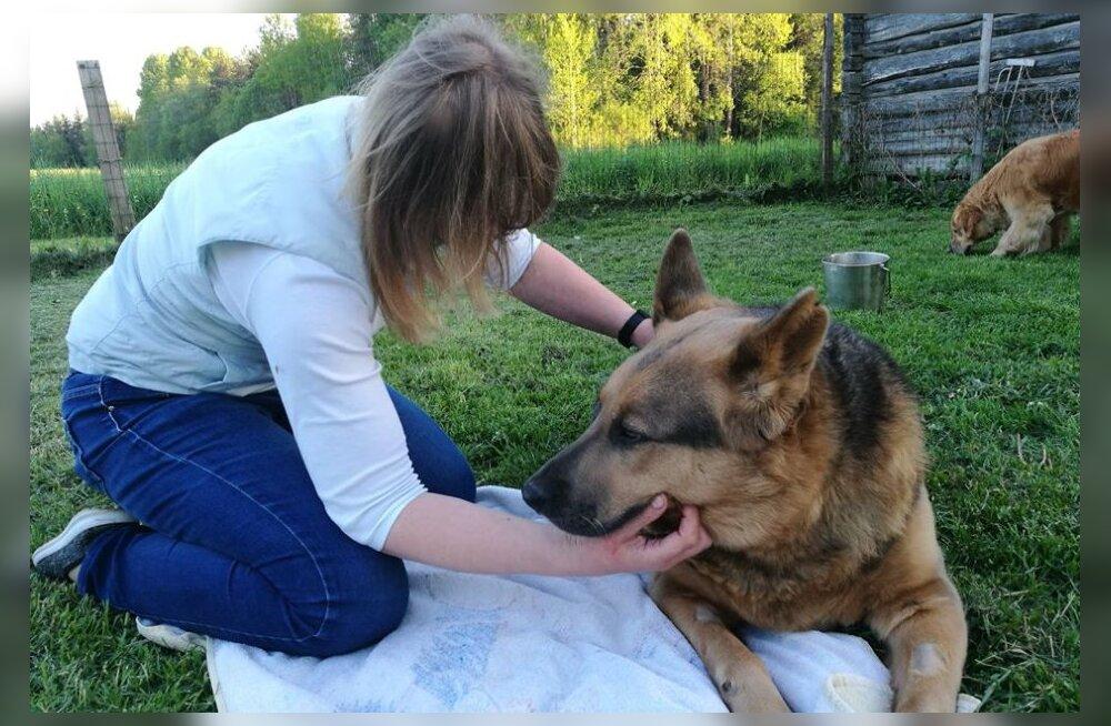 Hallikese käekäik: mis on saanud koerast, keda peremees mööda Tallinna tänavaid lohistas?