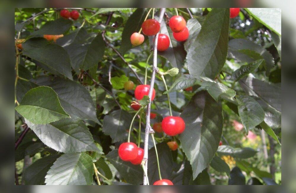 kirsid