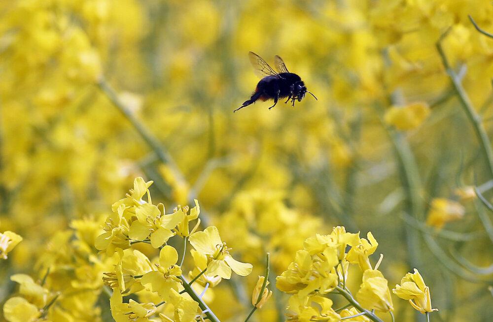 Vaibunud sumin: Saksamaa looduskaitsealadel on lendavate putukate arv kahanenud 76 protsendi võrra