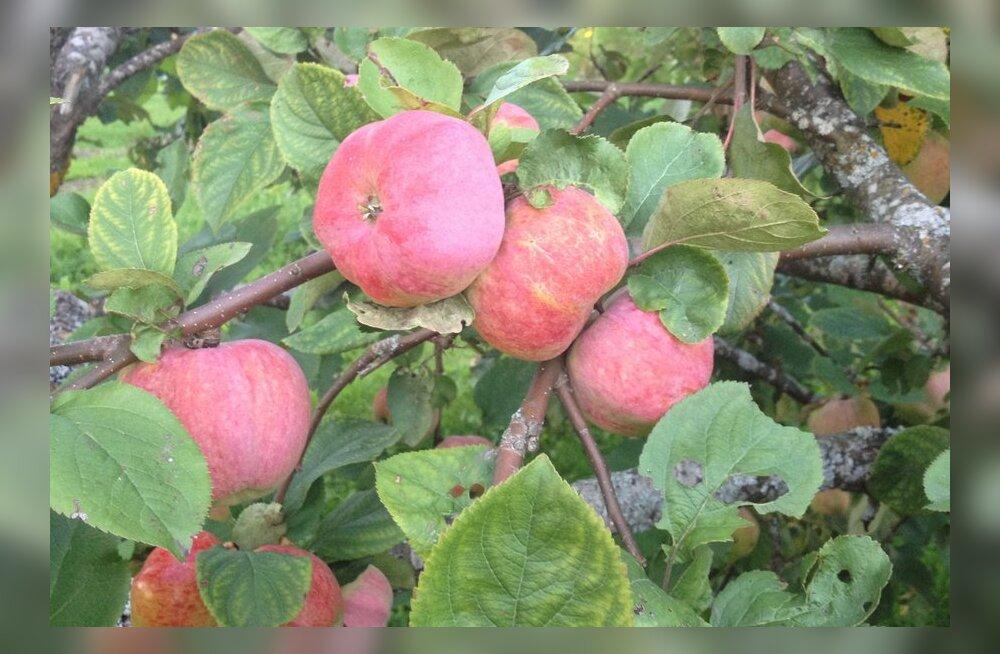 Et õunad hästi säiliksid