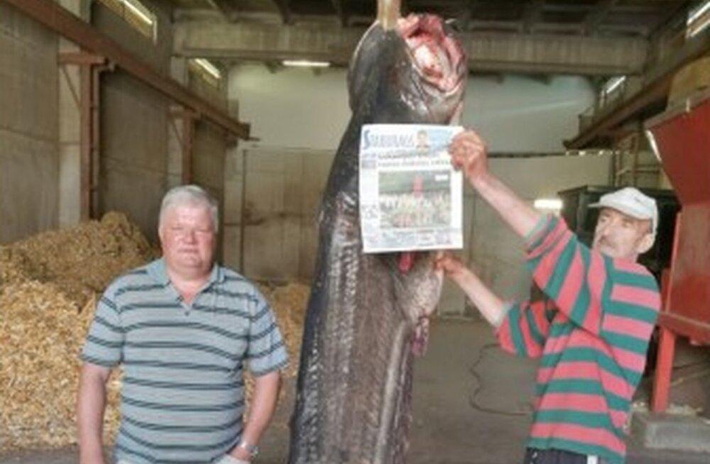 FOTO | Läti kalamehed püüdsid Daugavast sajakilose säga