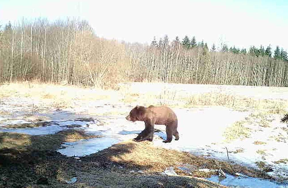 FOTO   Viljandimaal nähti liikumas taliuinakust ärganud haiget karu