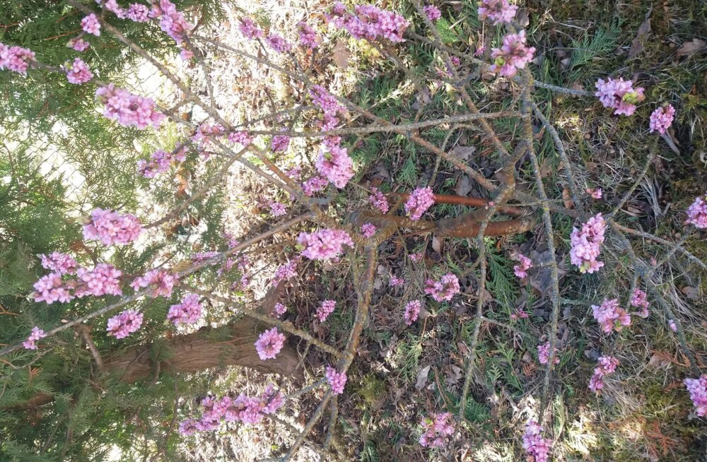 PÄEVAPILT: Kevad on käes, surmavalt mürgine näsiniin õitseb