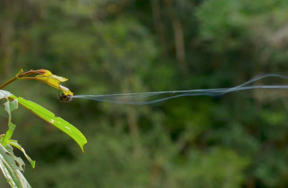 Uskumatu: Ämblik, kes heidab võrguniidi 25 meetri kaugusele