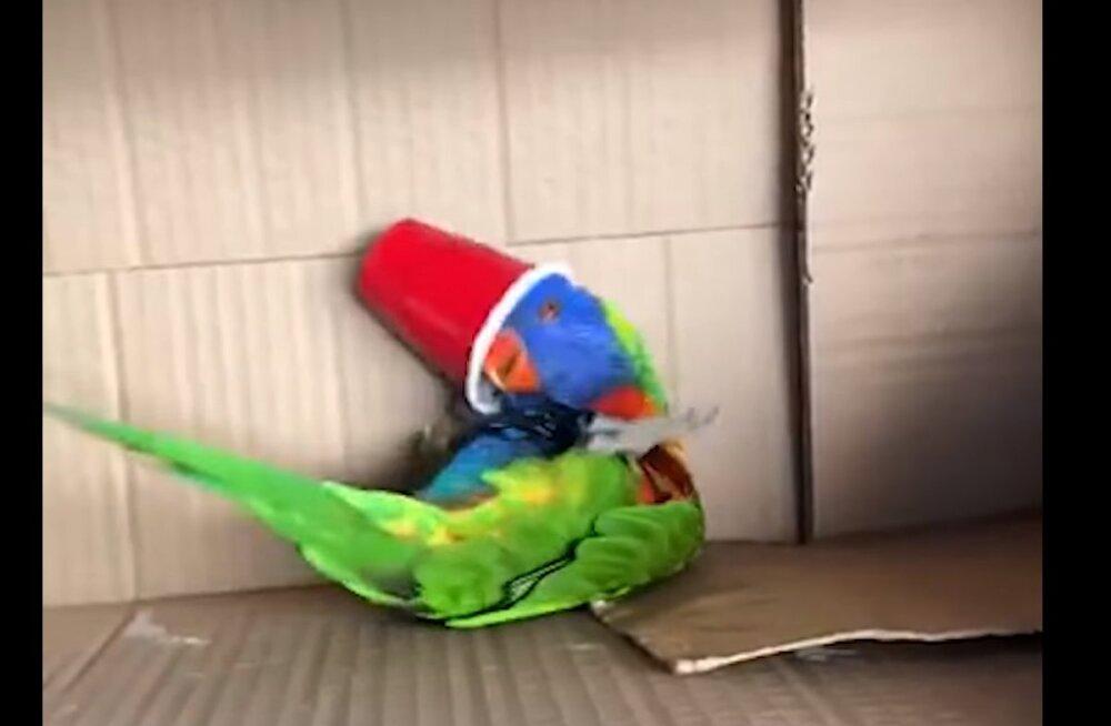 Naljakas VIDEO | Vaata, milline näeb välja papagoi, kes satub oma mänguasjast lausa vaimustusse!