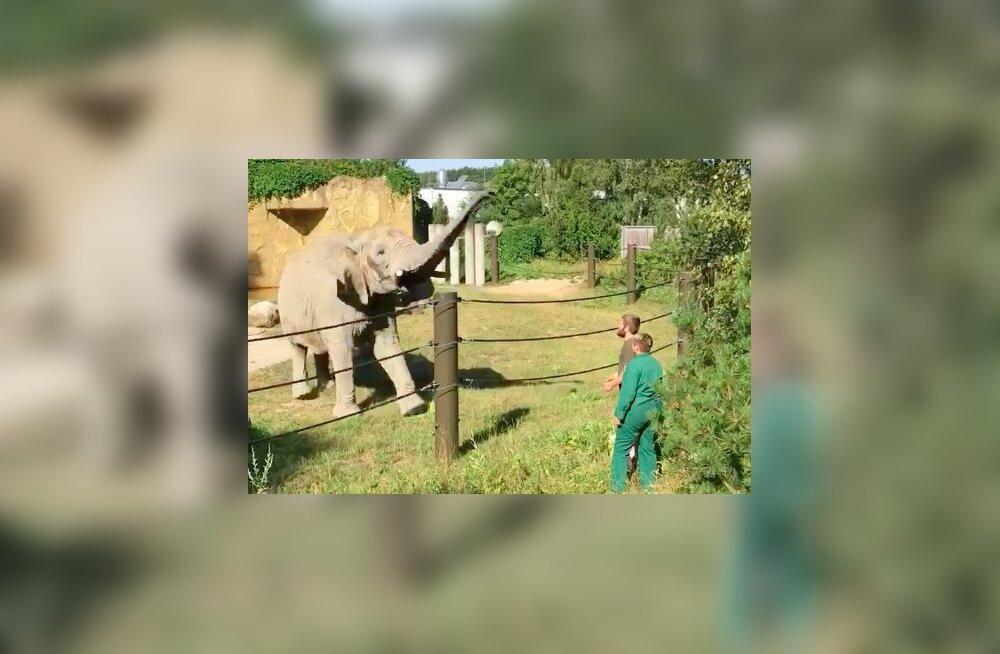 LUSTAKAS VIDEO Tallinna loomaaiast | Elevant Fien mängib sõpradega palli