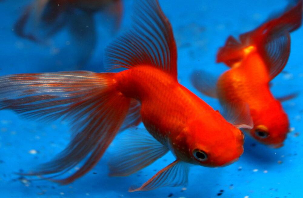 RAHAMAAGIA SALADUSED: Kui soovid kiiresti rikastuda, võta appi kuldkalad!