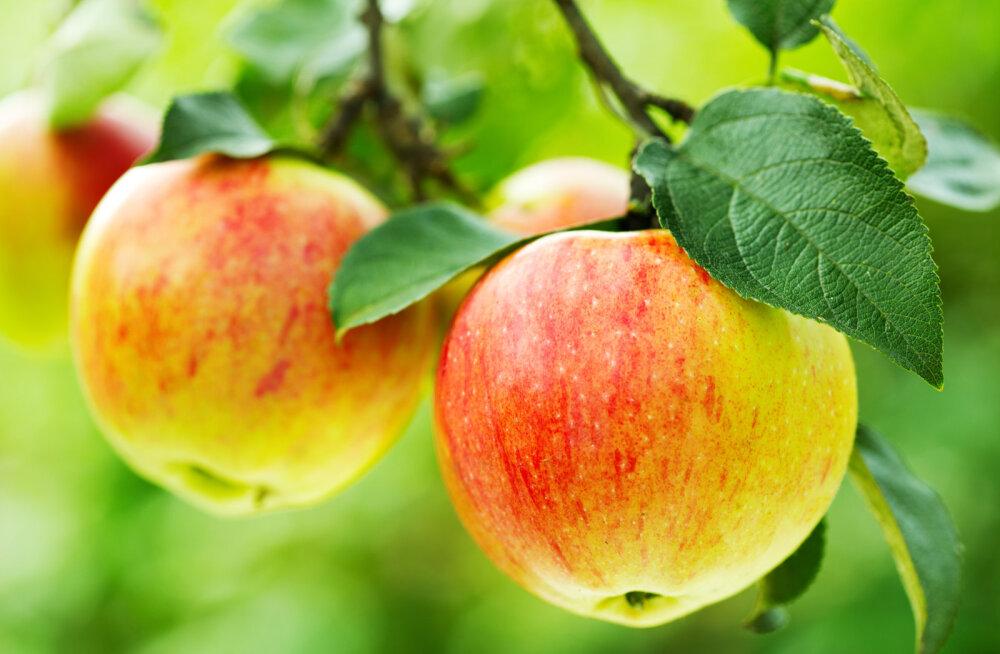 Tahad aeda magusate õuntega puud? Vaata, millist sorti valida