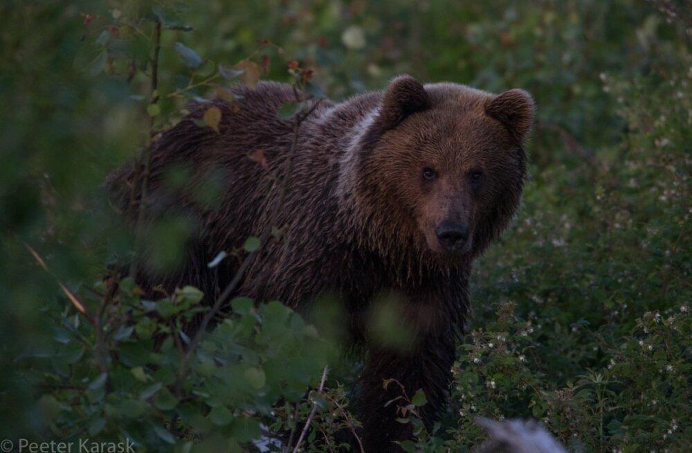 Обзор эстонской прессы от бюро Яны Тоом: Эстония рвет когти русскому медведю