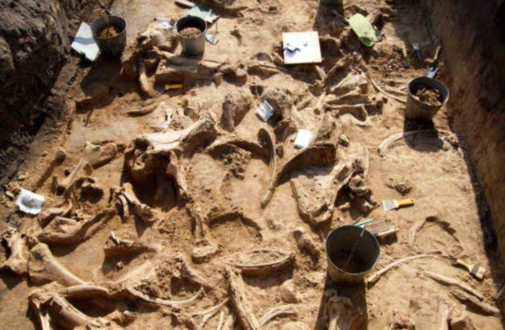 Venemaal avastati juhuse läbi hiiglaslik kogus mammutiluid
