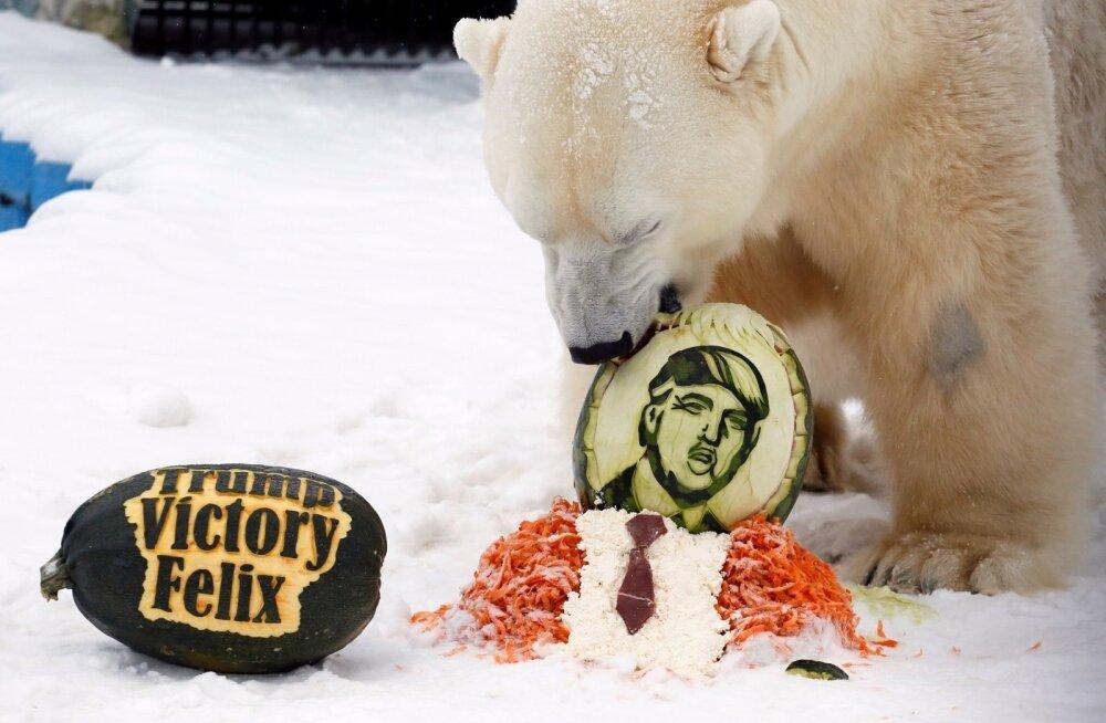 TRUMP VÕI JÄÄKARU? Novembris ennustas 10aastane jääkaru Felix kõrvitsa söömise abil, kas USA presidendiks saab Donald Trump või Hillary Clinton. Nüüd on Felixi liigikaaslaste saatus Trumpi tõttu ohus