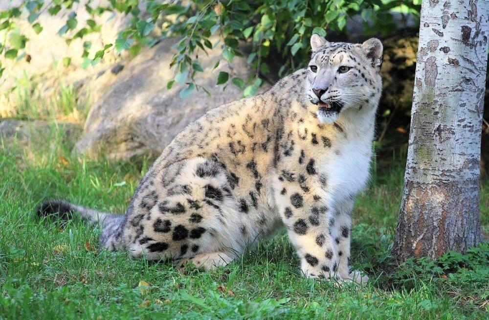 ÜRITUS   Pühapäeval tähistatakse loomaaias rahvusvahelist lumeleopardipäeva