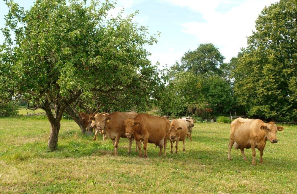 MAKi keskkonnameetme raames toetati kohalikke sorte ja tõuge, sealhulgas Eesti maakarja.