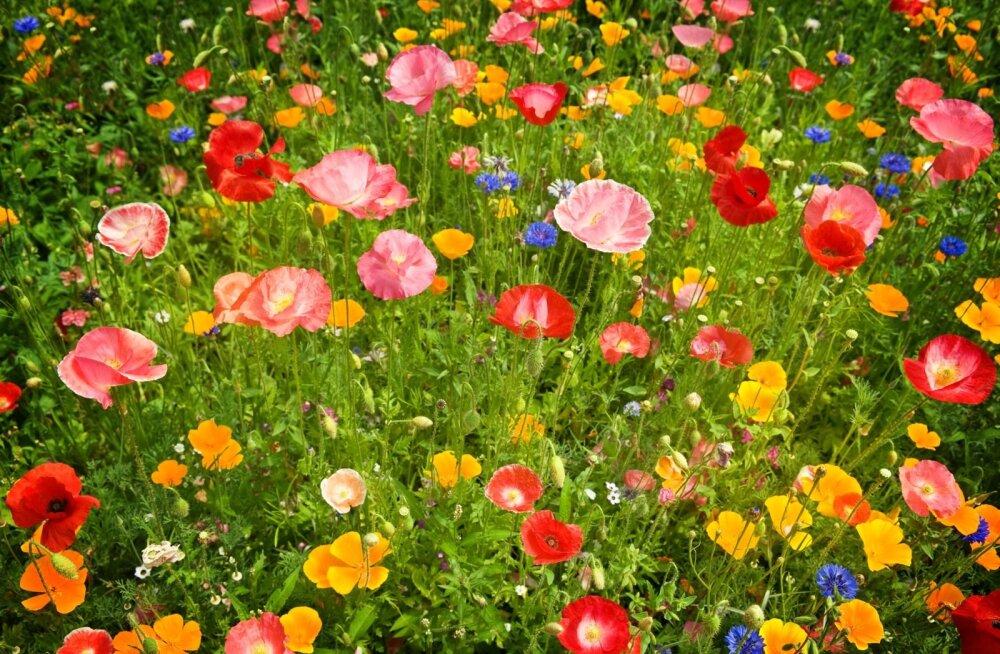 Muru asemel võib rajada õitsva lilleniidu.
