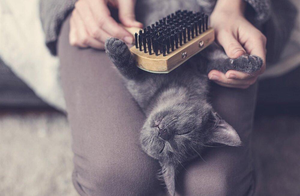 Kassiomanike sage mure: miks kass ennast ei pese ja karv pulstub?
