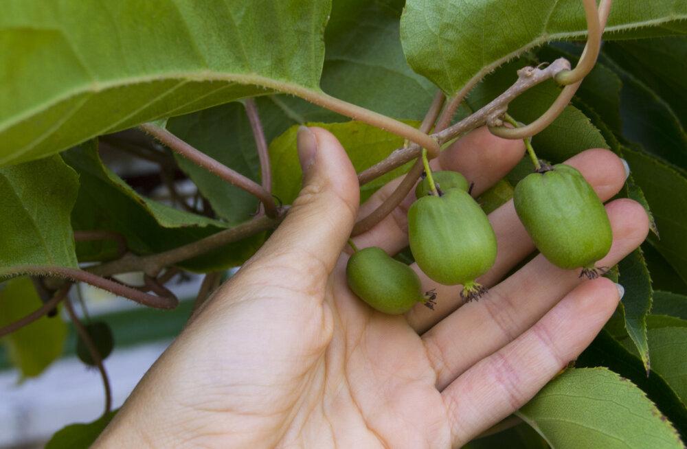 Südajas aktiniidia on taim, mille viljad on saamas uueks supertoiduks