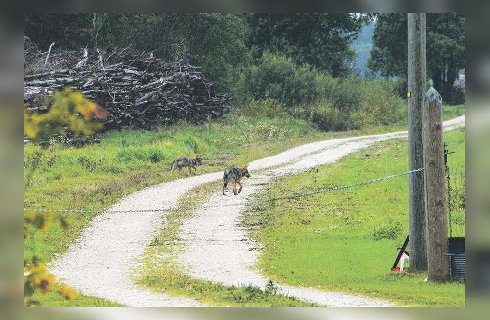 Eesti Päevalehe arhiivist. Harukordne üllatus: hundid jalutasid otse koduakna alla