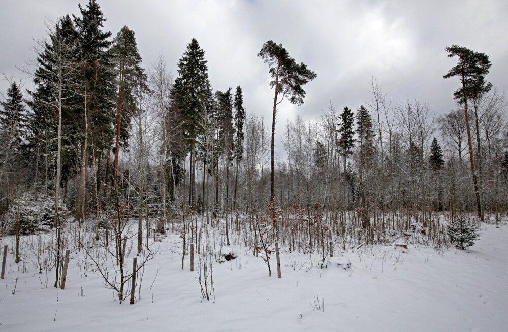 Pärast lageraiet hoolitseb viisakas metsaomanik ka raiesmiku uuendamise eest. Lääne-Virumaa metsaomanik Lembit Laks istutas ühele langile näiteks hoopis tammed.