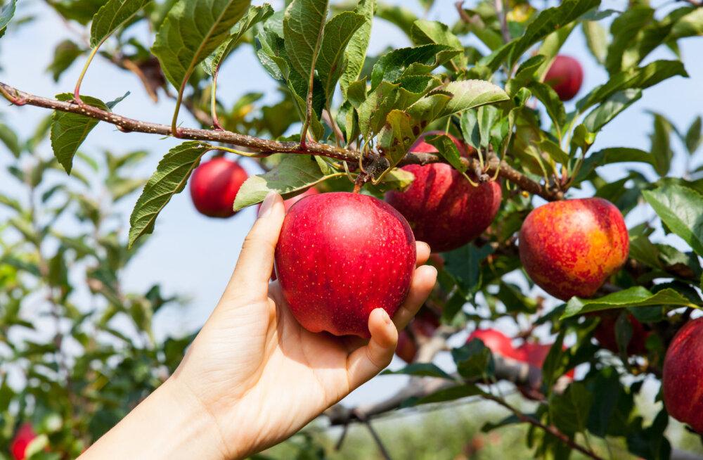 Šamaan Anu Pahka nõuanded: õunapuu maagiline vägi aitab leida armastust ja jääda lapseootele