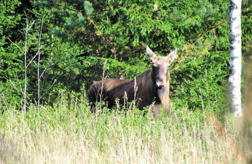 Leili metsalood | Põdrajahi hooaeg
