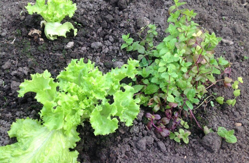 Poest ostetud potisalati saab pärast söömist aeda istutada