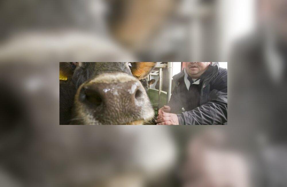 """""""Lüpsame oma lehmi kolm korda päevas ja see annab juurde 15% piima,"""" räägib Kaska-Luiga talu peremees Avo Kruusla."""