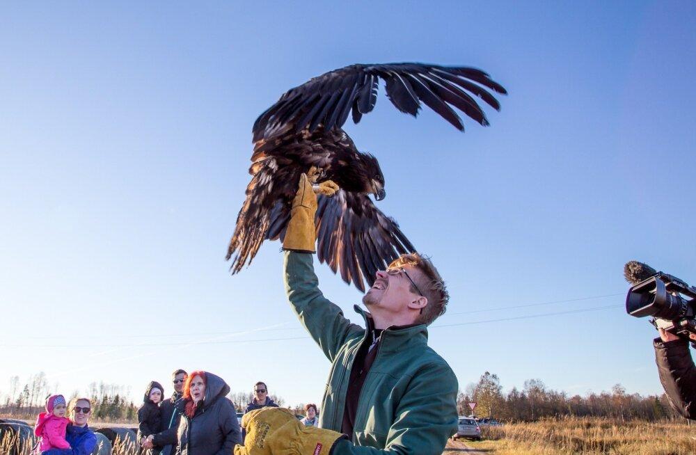Linnud lasi lendu neid ravinud loomaarst Madis Leivits.