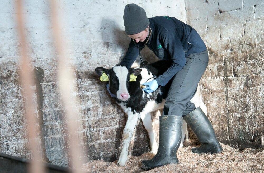 Rakvere piimaühistu loomaarst Inga Kivimeister kontrollib vasika tervist.
