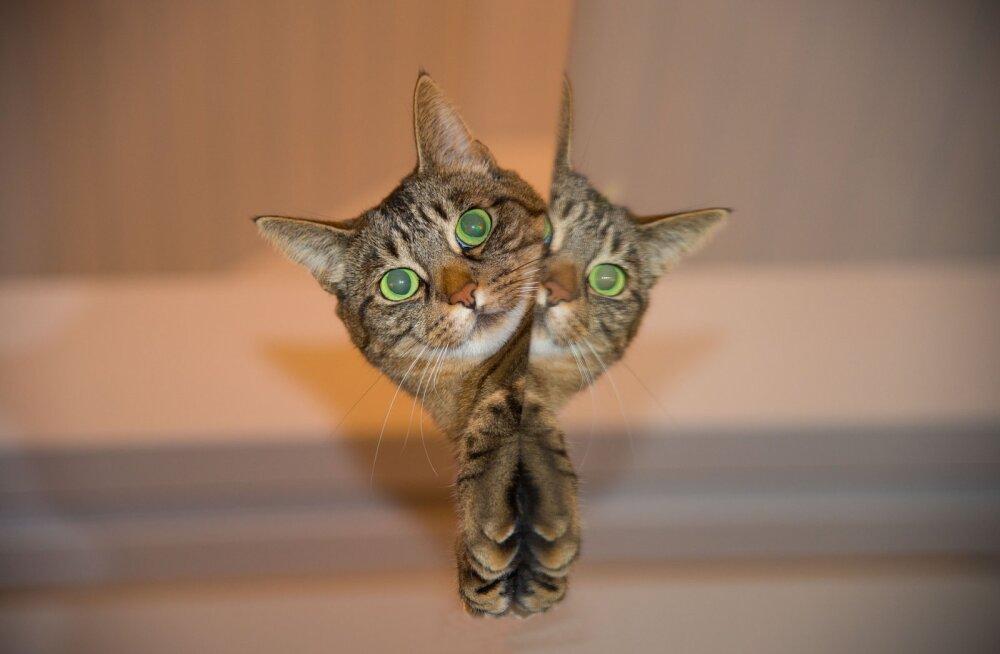 KAS TEADSID: 22 kasside ebatavalist käitumisviisi viimaks selged
