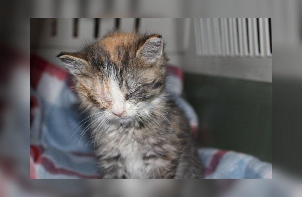 Sairi erakordne lugu: muru niitmise käigus leitud apaatne ja kurvasilmne kassipoeg ihkab vaid armastuse järele