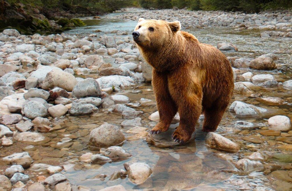 Märk maas: karu astus teadaolevalt esimesed sammud Vilsandi saarele