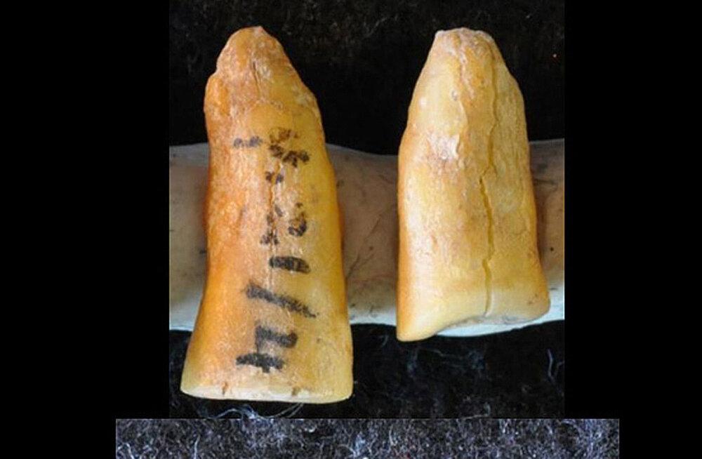 """""""Piinamismeetod"""" jääajast ehk vanim hambaplomm pandi suhu juba 13 000 aastat tagasi"""