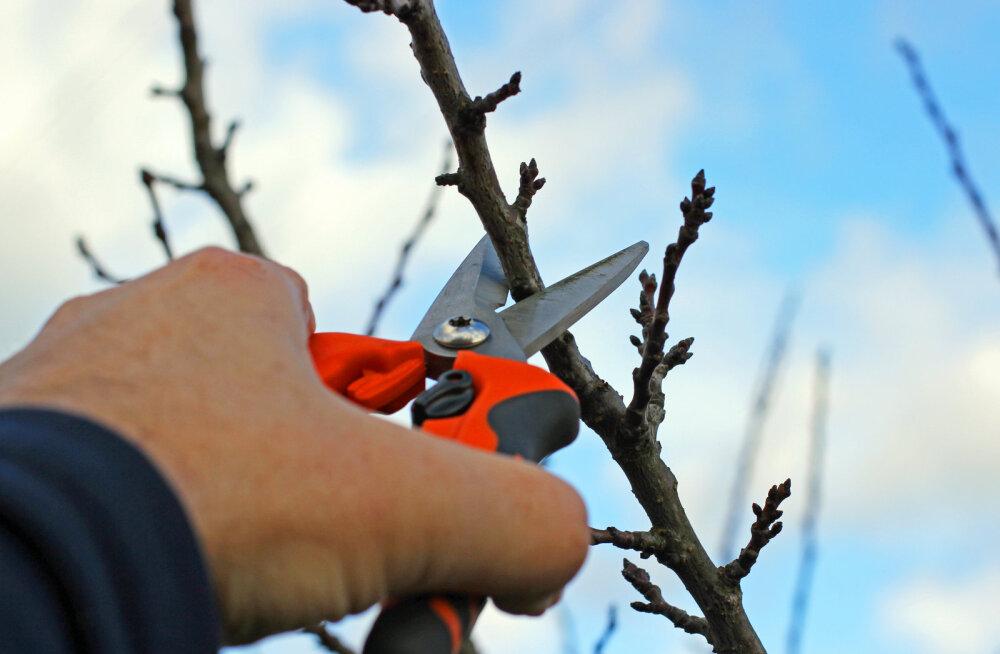 Näpunäited, kuidas paljundada pistokstest puid ja põõsaid
